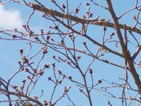 校庭の桜のつぼみ